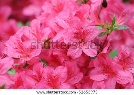 Pink azalea background - stock photo