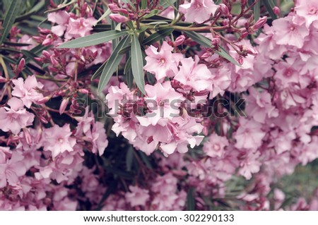 Pink azalea blossom. Rhododendron ponticum, called common rhododendron. Selective focus. - stock photo