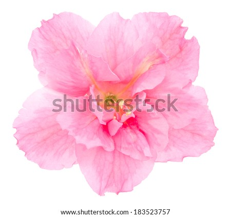 Pink azalea. Deep focus. No dust. No pollen. Isolated on white background.  - stock photo
