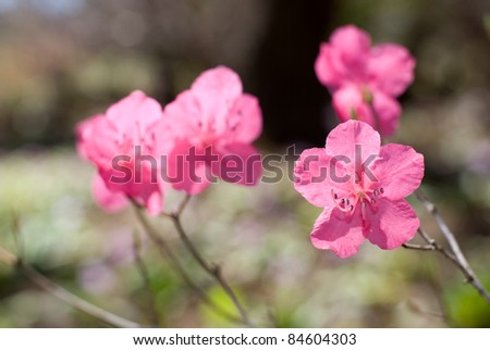 Pink azalea flower in full bloom - stock photo