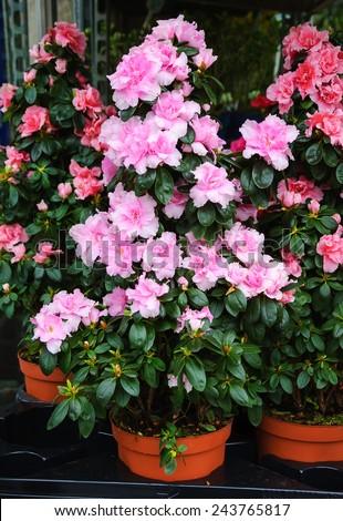 Pink azalea flowerpots for sale in flower shop in Paris (France). - stock photo