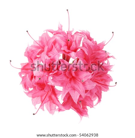pink azalea isolated - stock photo