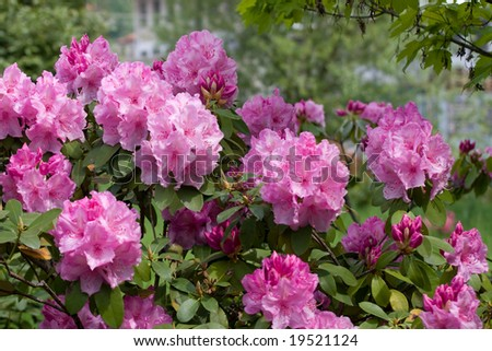 Pink Azalea Rhododendron in the garden - stock photo