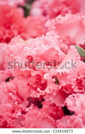 Pink azaleas floral background - stock photo