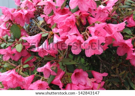 Pink Azaleas in Bloom in Spring - stock photo