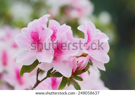 Pink azaleas in the park, close up and soft focus - stock photo