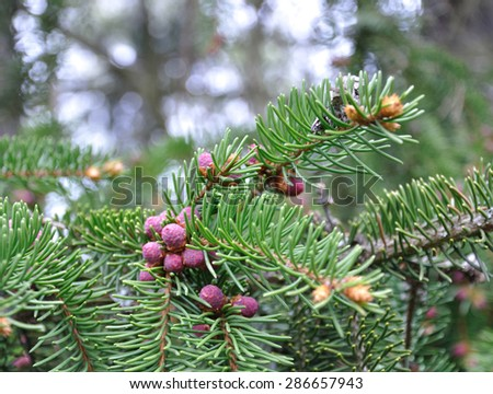 Pink baby fir cones and needles closeup in spring. - stock photo