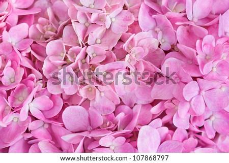 Pink background of hydrangea flowers - stock photo