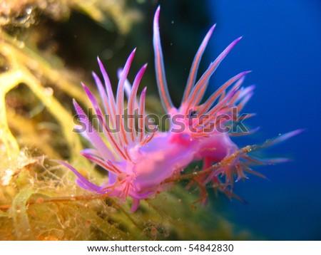 Pink beautiful nudibranch - stock photo