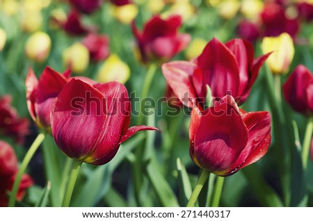 Pink beautiful tulips field in spring time, floral easter background - stock photo