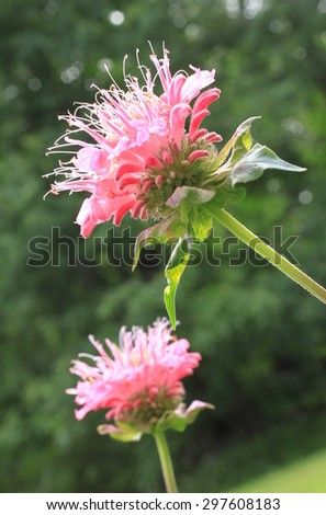 Pink Bee Balm flower, also known as Monarda, in full bloom with soft background portrait - stock photo