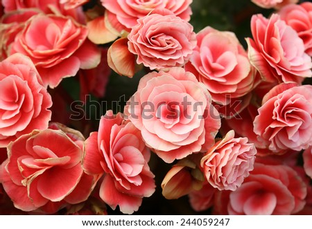 pink begonia flower blooming in the garden - stock photo