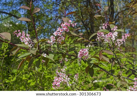 Pink blooming bird cherry in a bright sunny day in May. - stock photo