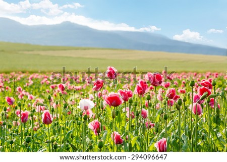 Pink blooming poppy, huge field of blossoming flowers on sunny summer day - stock photo