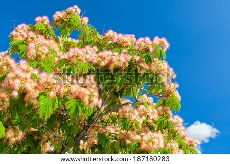 Pink Blossom Acacia Tree Brunches on Bright Blue Sky Background - stock photo
