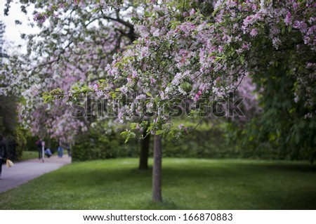 Pink blossoming spring tree in the park - stock photo