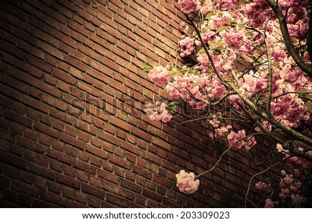 Pink blossoming tree (Prunus Triloba) against old red brick wall. Aged photo. Sepia. Vignette frame. - stock photo