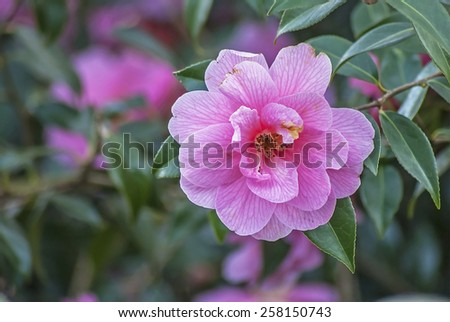 Pink camellia petals on a rose bush, some colours removed to enhance image and grain visable in pollen area, - stock photo