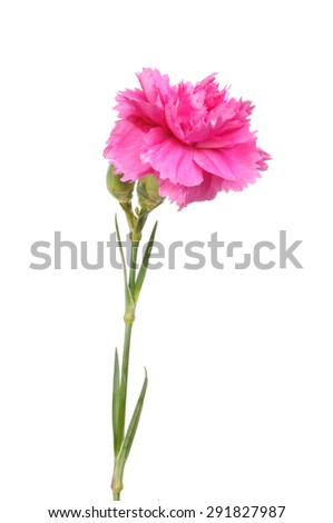 Pink carnation flower isolated against white - stock photo