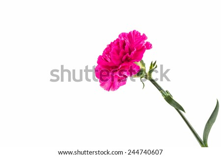 Pink carnation flower isolated on white background.  - stock photo