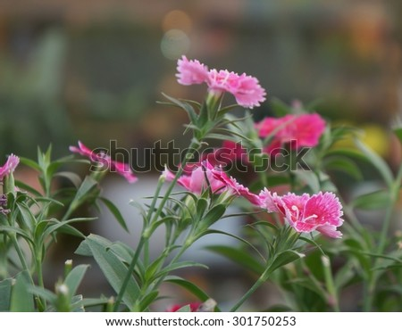 Pink carnation in bloom, selective focus on the lower flower - stock photo