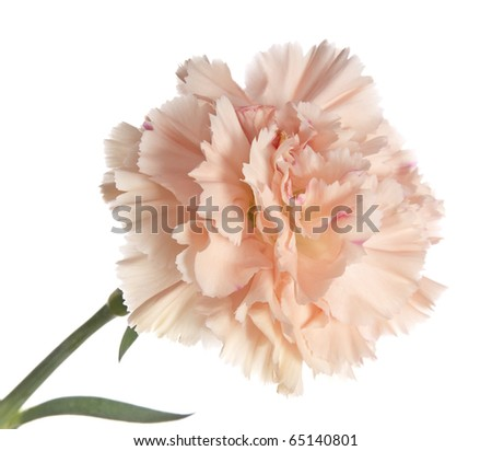 pink  carnation isolated - stock photo