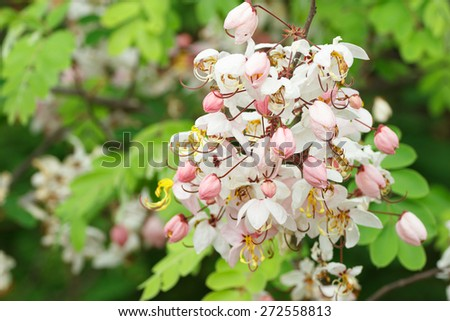 Pink cassia flower bouquet on tree. - stock photo