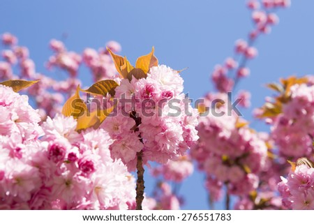 Pink cherry blossom flowers on flowering tree branch blooming in spring. - stock photo
