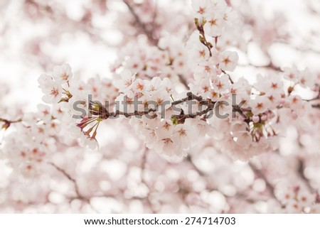 Pink cherry blossom in spring - stock photo