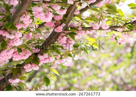 pink cherry blossom in washington - stock photo
