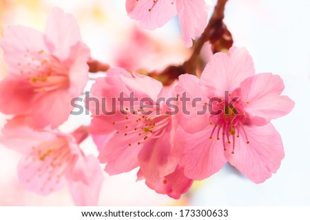 Pink cherry blossom sakura - stock photo