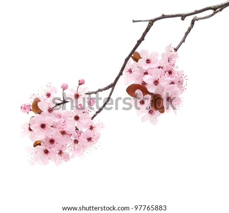 Pink cherry blossom sakura isolated on white background - stock photo