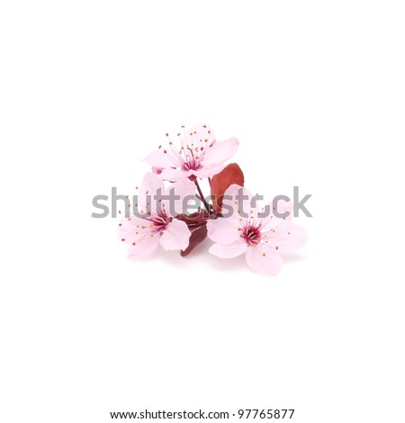 Pink cherry blossom sakura on white - stock photo