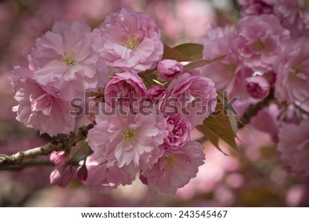Pink Cherry Blossom Twig Closeup - stock photo