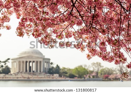 Pink cherry blossoms in spring framing the Jefferson Memorial in Washington DC - stock photo