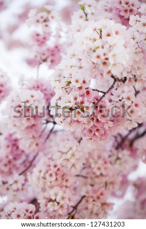 Pink cherry blossoms in springtime in Washington DC - stock photo