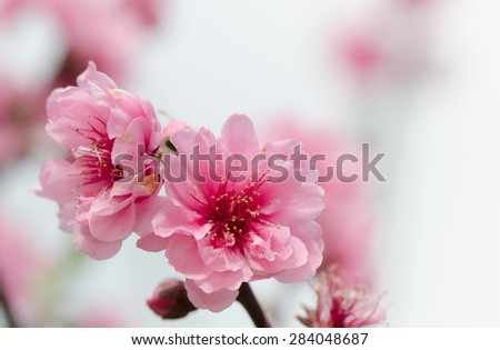 Pink cherry blossoms on tree with blurred background. - stock photo