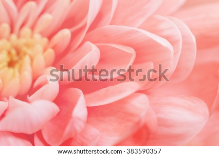 Pink Chrysanthemum close-up. Macro image with small depth of field. - stock photo