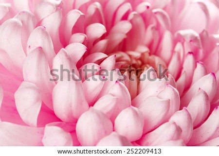 Pink chrysanthemum flower - stock photo