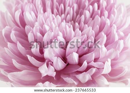Pink Chrysanthemum Flower macro - stock photo