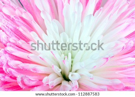 Pink Chrysanthemum Flower Macro Closeup - stock photo