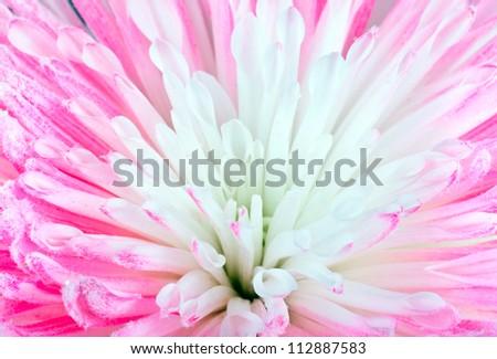 Pink Chrysanthemum Flower Macro Closeup - stock photo