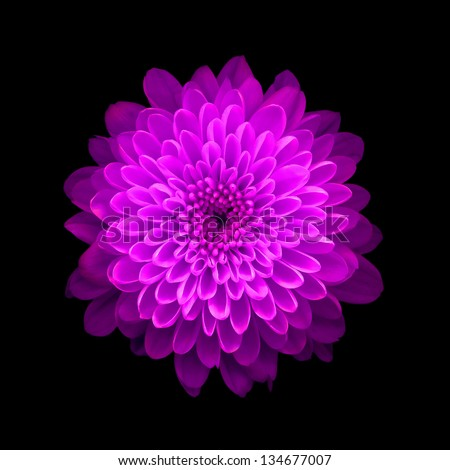 Pink Chrysanthemum on black background - stock photo