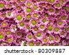 pink chrysanthemum santini flowers - stock photo