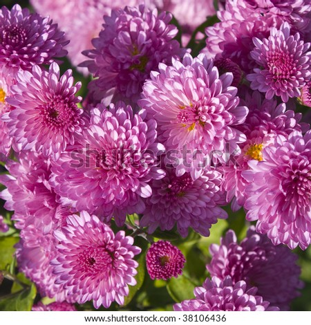 pink chrysanthemums - stock photo