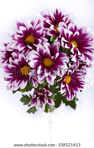 pink chrysanthemums closeup isolated - stock photo