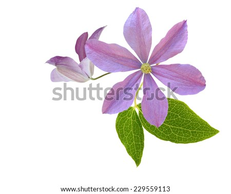 pink clematis flower on a white background  - stock photo