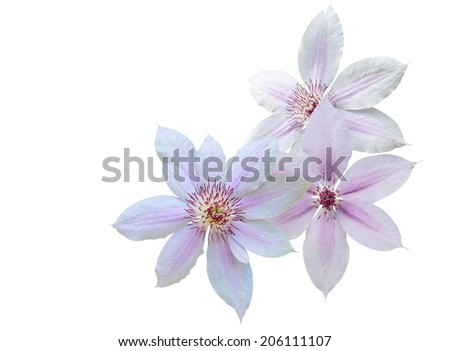 Pink clematis flowers  - stock photo