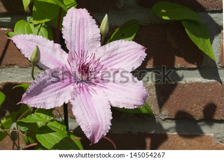 Pink clematis  'Hagley Hybrid' against a wall - stock photo