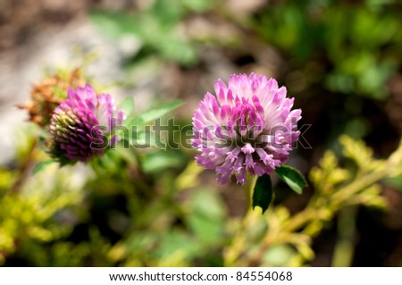 pink clover - stock photo